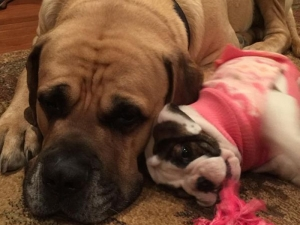 Bulldog puppy with her mastiff brother
